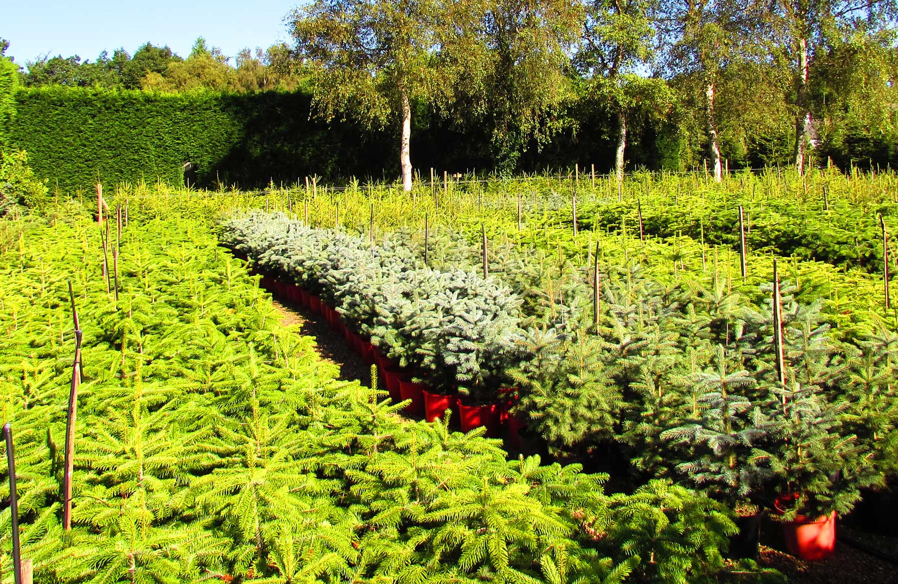 Container grown Christmas trees, kent