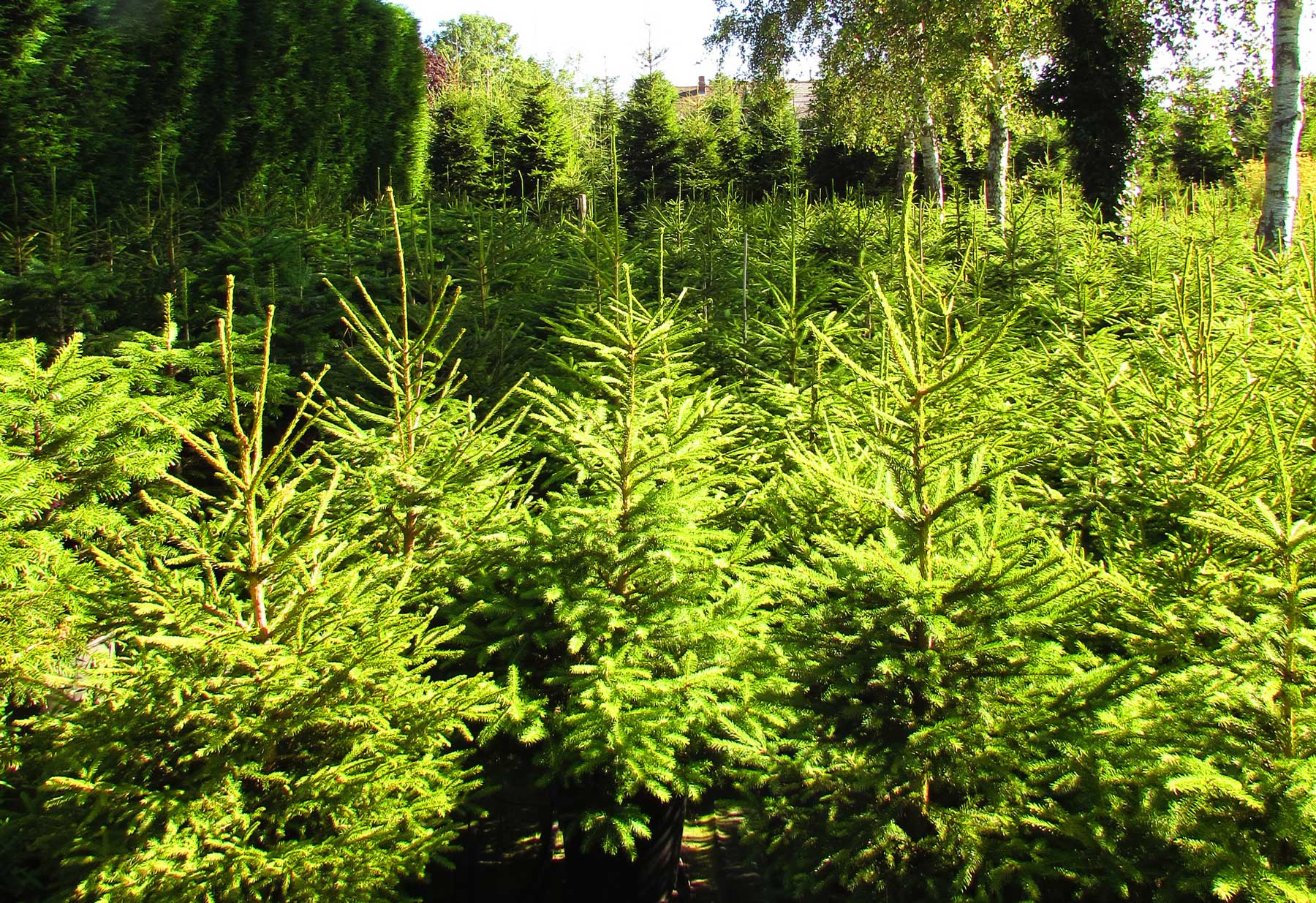 Wholesale Christmas Trees Kent