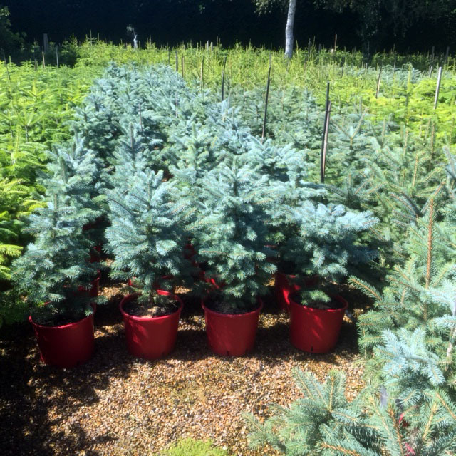 Container grown Christmas trees Kent