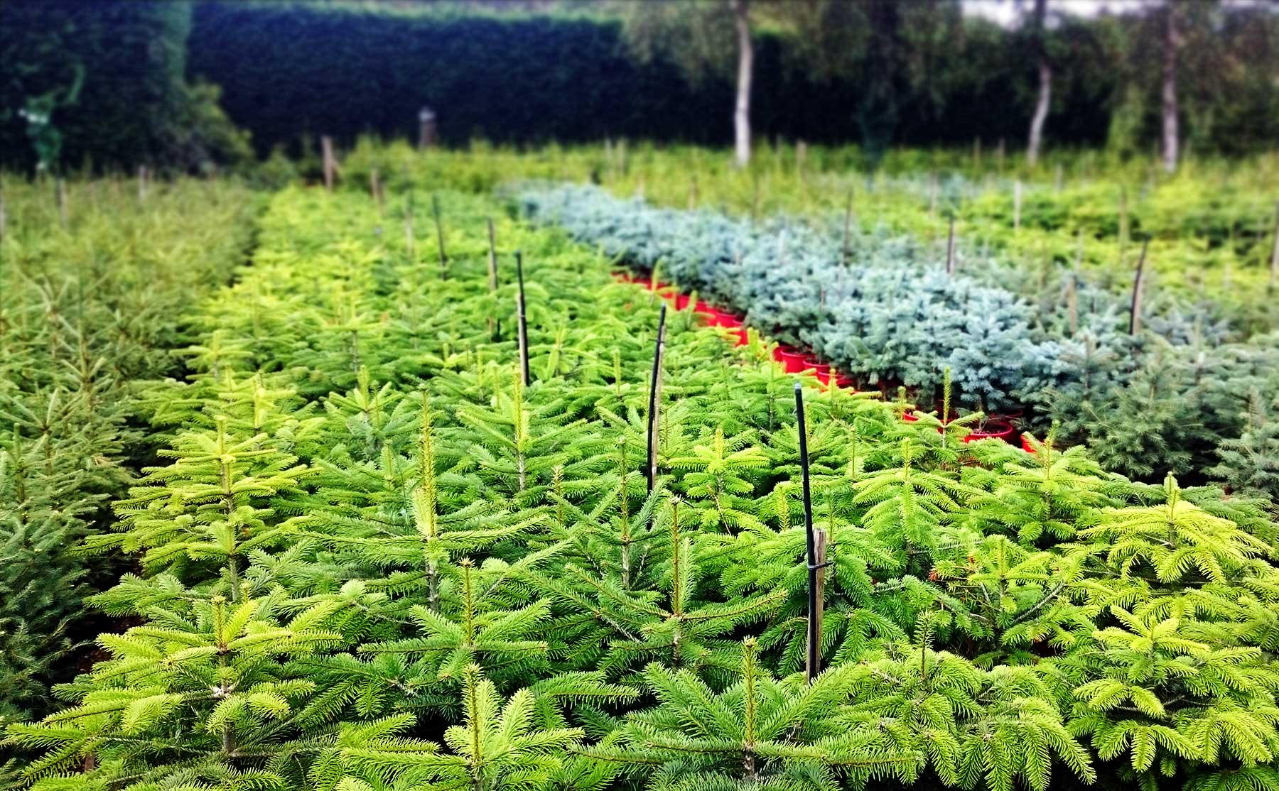 with thousands of high quality real christmas trees to choose from youre sure to find your perfect tree at newlands nursery - Christmas Tree Nursery