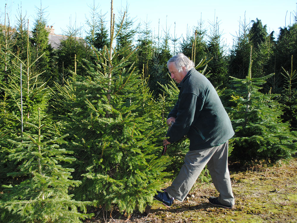 Pick your own Christmas trees, Kent